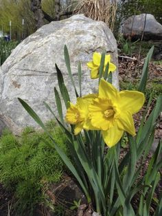 Daffodils are cheerful harbingers of early spring and, usually, they bloom dependably for many years. However, sometimes problems arise and, unfortunately, there are no daffodils after planting. What to do? Read this article to learn more.