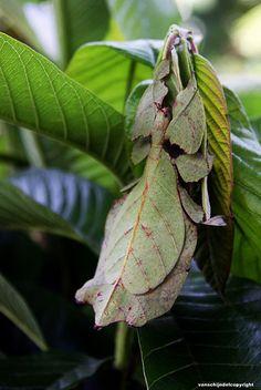 Camouflage - Bali  Phasmida Phylliidae Insect (Walking Leaf)
