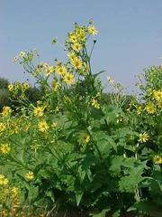 Silphium perfoliatum - Plant Finder, from Ginny T in Meadow Garden, Side Garden, Plants To Attract Bees, Missouri Botanical Garden, Clematis, Native Plants, Garden Plants, Shrubs, Garden Landscaping