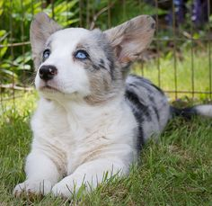 Cardigan welsh corgi pup in Blue Merle. Cute Puppies, Cute Dogs, Dogs And Puppies, Doggies, Animals And Pets, Baby Animals, Cute Animals, Corgi Dog, Dog Cat