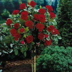rose tree | Dark Red Roses: Best Deep, Blood & Black Red Roses to Grow. Roses are my favorite. Love the idea of a rose tree.