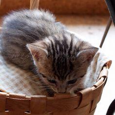 おはようございます。このカゴの中には結構ゴツいカメラとレンズが入っています。寝にくいと思うのですが(´・_・`) #cat #kitten #goodmorning #猫#子猫 - @yuriri51- #webstagram