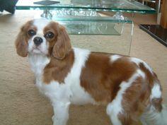 Pin By Abby Johnson On Cavalier Haircuts King Charles Cavalier Spaniel Puppy King Charles King Charles Spaniel