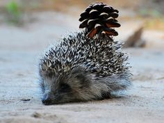 No seriously, all I see are pinecones. | 15 Hedgehogs With Things That Look Like Hedgehogs