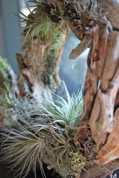 driftwood and tillandsia wreath - convert into mirror frame for wash sector