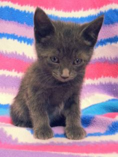 Meet Mug 20389 a Petfinder adoptable Domestic Short Hair Cat | Prattville, AL | Mug is a male kitten, 9 weeks old.Dogs and puppies may be adopted for a fee of $120. All cats and...