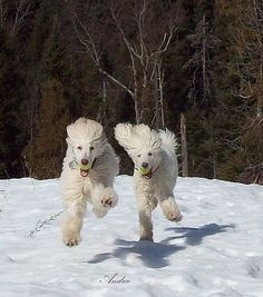Poodle Dogs Winter is coming! Is your dog excited for colder weather and snow days? - Fabio and Barbie I Love Dogs, Cute Dogs, Poodle Cuts, Yorkshire Terrier, Dogs And Puppies, Doggies, Poodle Puppies, Best Dogs, Fur Babies