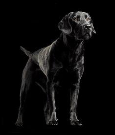 Black Labs Labrador Retriever Dogs