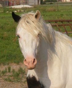 Welsh Mountain Pony (section A) cross stallion KCS Rock N Rebel