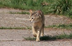 Of the several wildcat hybrid breeds, the Chausie (pronounced CHOW-see) is the most recently developed. Despite that, this cat is just as outgoing and people-oriented as any domestic cat. Origins The Chausie's origins begin in the 1960s, when a few people launched an experiment to breed the Jungle Cat (Felis chaus) with the domestic cat, …