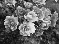 Roses♥