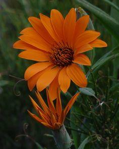Patagonia, Flora, Argentina Travel, Dandelion, American, Garden, Plants, Art, Orange