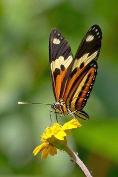 Isabella's Longwing (Eueides isabella dianasa)