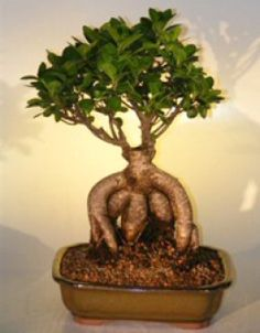 Ready to start pruning my Ficus Microcarpa! Ginseng Ficus– the Perfect Bonsai Tree for the Beginner