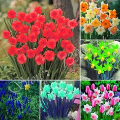 New Arrival 100 pcs Narcissus Flower Daffodil Seeds Absorption Radiation Narcissus Tazetta Seeds Flowers for Rooms Free Shipping