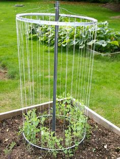 bicycle rims, twine and a bit of conduit or plumbing pipe make for a functional and really cool trellis to support pea plants.