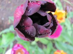 """""""Queen of the night"""" Black tulip"""