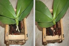 Solution for Rotting Orchid Roots - So Crafty Wooden Basket, Bamboo Basket, Orchid Roots, Lily Bulbs, Plastic Flower Pots, Oriental Lily, Wedding Centerpieces, Perennials, Plant Leaves
