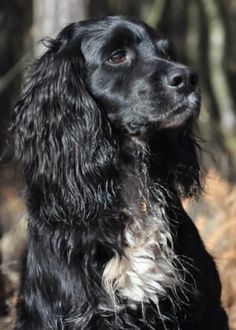 Black Cocker Spaniel, American Cocker Spaniel, Cocker Spaniel Puppies, English Cocker Spaniel, Springer Spaniel, Cute Cats And Dogs, Dogs And Puppies, Doggies, Working Spaniel