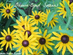 Black eyed susans are beautiful and hardy perennials for summer and make great cut flowers.