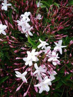 Jasmine Vine, Pink Jasmine, Jasmine Plant, White Flowers, Beautiful Flowers, Spring Flowers, Fast Growing Evergreens, Evergreen Vines, Evergreen Climbing Plants