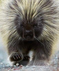 30 best Porcupine, porcupines images on Pinterest | Animals, Wild ...