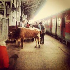 #Bull at the Railway Platform