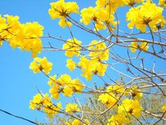 "Brazil's national flower, the Tabebuia alba flower (port. Ipê-amarelo-da-serra), is also commonly known as the Golden Trumpet Tree, Ipê (commonly misspelled ""epay""), Poui and pau d'arco. Tabebuia is a notable flowering tree. The flowers are 3 to 11 cm (1 to 4 in.) wide and are produced in dense clusters"