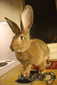 9 month old continental giant rabbit. ~ So Beautiful! <3