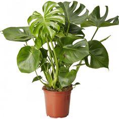 Jättipeikonlehti 21 cm Monstera Deliciosa, Modern Retro, Green Plants, Greenery, Plant Leaves, 21st, Herbs, Interior, Flowers