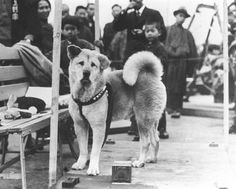 """Hachiko: """"Hachikō (ハチ公, November 10, 1923 – March 8, 1935), known in Japanese as chūken Hachikō (忠犬ハチ公 """"faithful dog Hachikō"""" ['hachi' meaning 'eight', a number referring to the dog's birth order in the litter, and 'kō', meaning prince or duke]), was an Akita dog born on a farm near the city of Ōdate, Akita Prefecture, remembered for his remarkable loyalty to his owner, even many years after his owner's death."""""""