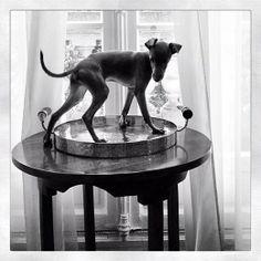 Italian greyhound on a table