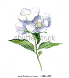 Watercolor jasmine flowers