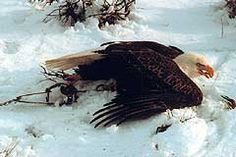 An American Bald Eagle, endangered species and symbol of America, caught in a trap - left to suffer and possibly fall victim to other predat... BAN TRAPPING PETITION;  PLEASE SIGN AND SHARE!