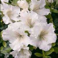 White gumpo azaleas  $5 at CBS