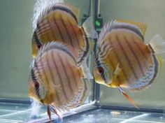 Natural and Cultivated Discus Fish Types