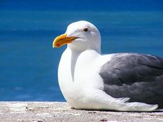 Seagull – Spirit Animal, Symbolism and Meaning Belize Resorts, Animal Symbolism, Ocean Photos, Ulsan, Desert Island, Adventure Tours, Bird Pictures, Sea Birds, Gull