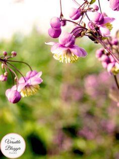 Thalictrum delavayi 'Splendide' (Wiesenraute)