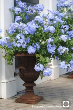 I Love my Blue Plumbago. It would look great in this iron container. I Love my Blue Plumbago. It would look great in this iron container. Garden Urns, Garden Planters, Container Plants, Container Gardening, Plant Containers, Flower Containers, Outdoor Plants, Outdoor Gardens, Potted Plants