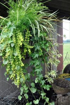 fern and spider plant in hanging basket - Google Search