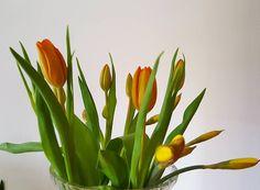 Beautiful flowers  #tulips #påskliljor #colorful #green #naturalbeauty #beauty #spring #garden #gardening #yellow #orange #healthychoices #healthylife #healthy #veganlife #veganlife #crueltyfreefood #fitness #joy #countryside #countryhome #familytime #travel by 13skorpionen
