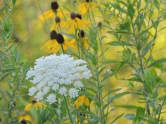 Queen Anne's Lace. See more of my flower photos at http://www.lorraineball.com/