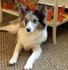 Image result for shelillon dog