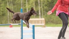 Agility Training For Dogs: The Ultimate Beginners Guide | Top Dog Tips