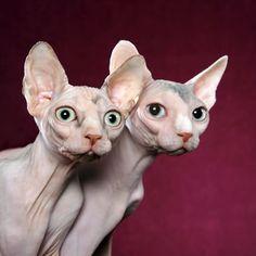 Hairless Cats, so cute !