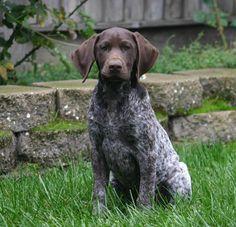 german shorthaired pointer puppies missouri - 800×772