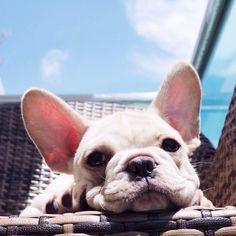 French Bulldog, enjoying the Sun.