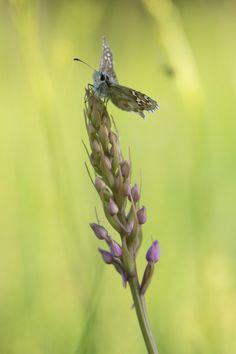 Dickkopffalter auf Gymnadenia conopsea