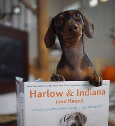 Who knew dogs were such great #readers? I guess it helps when you wrote the book...#Indiana from @harlowandsage fame dips into their new book #HarlowAndIndiana (out in 1 week!). Preorder and enter to win fun prizes from your favorite #pet brands (link in profile)!