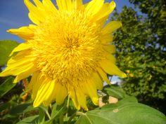 Подсолнух, собственно, неисчерпаем, Как прочий мир. Порукой в том роенье Пчел, чуящих крыла прозрачным краем Растительного космоса струенье. Новелла Матвеева.